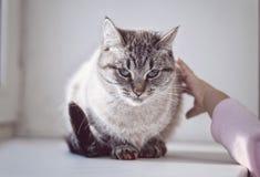 Γάτα στη στρωματοειδή φλέβα παραθύρων Στοκ Εικόνα