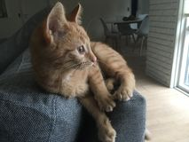 Γάτα στον καναπέ Στοκ Εικόνες
