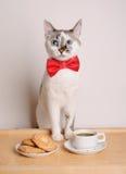 Γάτα στον κόκκινο καφέ κατανάλωσης δεσμών τόξων με τα μπισκότα Στοκ φωτογραφία με δικαίωμα ελεύθερης χρήσης