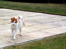 Γάτα στον περίπατο Στοκ εικόνα με δικαίωμα ελεύθερης χρήσης