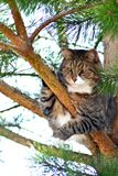 Γάτα στο δέντρο πεύκων Στοκ φωτογραφία με δικαίωμα ελεύθερης χρήσης