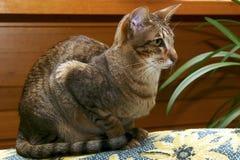 γάτα στο εσωτερικό Ασιάτ&eta Στοκ Φωτογραφία