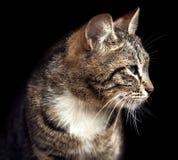 Γάτα στο Μαύρο Στοκ Φωτογραφίες