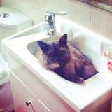 Γάτα στο νεροχύτη Στοκ εικόνα με δικαίωμα ελεύθερης χρήσης