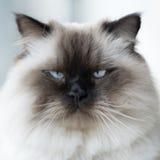 Γάτα στο σπίτι Στοκ Εικόνες