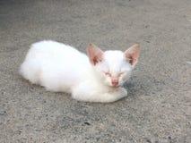γάτα Ταϊλανδός Στοκ εικόνες με δικαίωμα ελεύθερης χρήσης