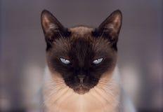 Γάτα, ταϊλανδικά Στοκ φωτογραφία με δικαίωμα ελεύθερης χρήσης