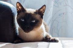 Γάτα, ταϊλανδικά Στοκ φωτογραφίες με δικαίωμα ελεύθερης χρήσης