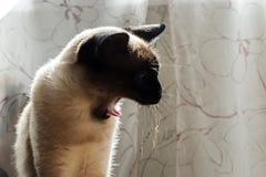 Γάτα, ταϊλανδικά Στοκ Εικόνα