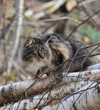 γάτα τα δασικά νορβηγικά Στοκ Εικόνες