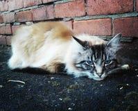Γάτα της Αγγλίας με τα μπλε μάτια Στοκ Εικόνες