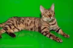 Γάτα της Βεγγάλης με τα μεγάλα κίτρινα μάτια Στοκ Φωτογραφία