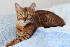 Γάτα της Βεγγάλης που θέτει το άνετο πορτρέτο στοκ εικόνα με δικαίωμα ελεύθερης χρήσης