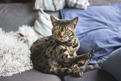 Γάτα της Βεγγάλης στο σπίτι στοκ εικόνες