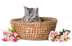 Γάτα της Βεγγάλης στο στούντιο Στοκ φωτογραφίες με δικαίωμα ελεύθερης χρήσης