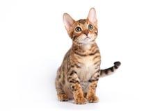 γάτα της Βεγγάλης Στοκ εικόνες με δικαίωμα ελεύθερης χρήσης