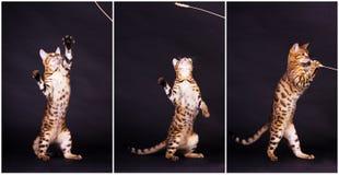 Γάτα της Βεγγάλης στη δράση στοκ φωτογραφία με δικαίωμα ελεύθερης χρήσης