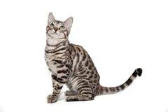 Γάτα της Βεγγάλης στο άσπρο υπόβαθρο Στοκ εικόνα με δικαίωμα ελεύθερης χρήσης
