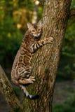 Γάτα της Βεγγάλης υπαίθρια Στοκ Φωτογραφίες