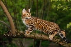 Γάτα της Βεγγάλης υπαίθρια Στοκ εικόνες με δικαίωμα ελεύθερης χρήσης