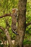 Γάτα της Βεγγάλης υπαίθρια Στοκ φωτογραφία με δικαίωμα ελεύθερης χρήσης