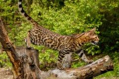 Γάτα της Βεγγάλης υπαίθρια Στοκ εικόνα με δικαίωμα ελεύθερης χρήσης