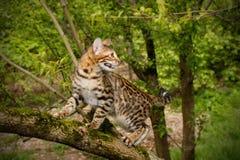 Γάτα της Βεγγάλης υπαίθρια Στοκ Εικόνα