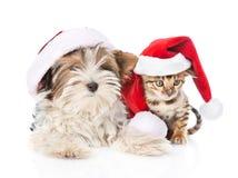 Γάτα της Βεγγάλης Χριστουγέννων και κουτάβι τεριέ biewer-Γιορκσάιρ στο κόκκινο καπέλο santa στο λευκό Στοκ Φωτογραφία
