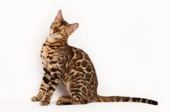 γάτα της Βεγγάλης Στοκ Φωτογραφίες