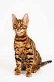 γάτα της Βεγγάλης Στοκ Φωτογραφία