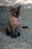 Γάτα της Βιρμανίας Στοκ φωτογραφίες με δικαίωμα ελεύθερης χρήσης