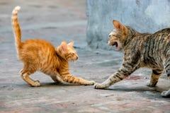 Γάτα της Βιρμανίας Στοκ Εικόνες