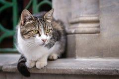Γάτα της Ιστανμπούλ στοκ εικόνες