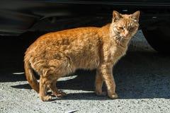 Γάτα της Κορέας Στοκ Εικόνες