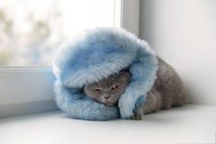 Γάτα της σκωτσέζικης βρετανικής φυλής που τυλίγεται σε ένα θερμό μαντίλι που φαίνεται OU στοκ εικόνες