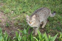 Γάτα της Τουρκίας Στοκ Φωτογραφία