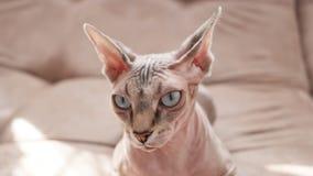 Γάτα της φυλής Sphynx στα εσωτερικά σκουπίδια στοκ φωτογραφία με δικαίωμα ελεύθερης χρήσης