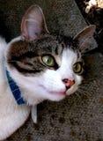 Γάτα της Merlin Στοκ Εικόνα