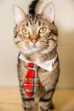 Γάτα τιγρών σε μια γραβάτα στοκ εικόνες με δικαίωμα ελεύθερης χρήσης
