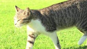 Γάτα τιγρών στην πράσινη χλόη φιλμ μικρού μήκους
