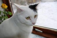 Γάτα - τουρκικό φορτηγό φυλής, ανκορά Στοκ εικόνες με δικαίωμα ελεύθερης χρήσης