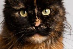 Γάτα του Μαίην Coon πιπεροριζών κινηματογραφήσεων σε πρώτο πλάνο tortie που φαίνεται κεκλεισμένων των θυρών στοκ εικόνα