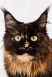Γάτα του Μαίην Coon πιπεροριζών κινηματογραφήσεων σε πρώτο πλάνο tortie που φαίνεται κεκλεισμένων των θυρών στοκ φωτογραφίες με δικαίωμα ελεύθερης χρήσης