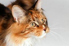 Γάτα του Μαίην Coon πιπεροριζών κινηματογραφήσεων σε πρώτο πλάνο tortie που εξετάζει το δικαίωμα στοκ φωτογραφίες