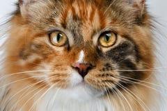 Γάτα του Μαίην Coon πιπεροριζών κινηματογραφήσεων σε πρώτο πλάνο tortie που φαίνεται κεκλεισμένων των θυρών στοκ φωτογραφία με δικαίωμα ελεύθερης χρήσης