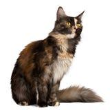 γάτα του Μαίην Coon πιπεροριζών tortie που εξετάζει το δικαίωμα στοκ φωτογραφία