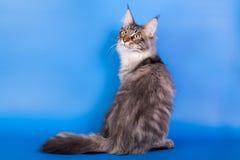Γάτα του Μαίην coon σε ένα μπλε υπόβαθρο Στοκ Εικόνες