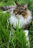 Γάτα του Μαίην Coon στη χλόη Στοκ Φωτογραφία