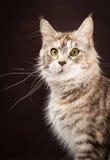 Γάτα του Μαίην coon στο μαύρο καφετί υπόβαθρο Στοκ φωτογραφία με δικαίωμα ελεύθερης χρήσης