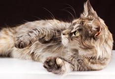 Γάτα του Μαίην coon στο μαύρο καφετί υπόβαθρο Στοκ Φωτογραφία